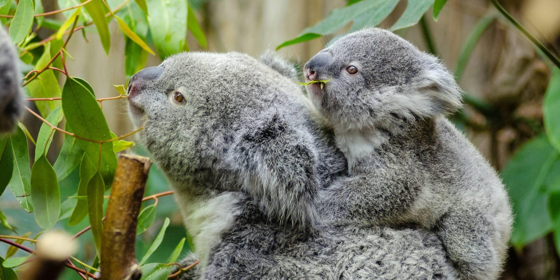 В Австралії через пожежі загинуло понад 2 000 коал