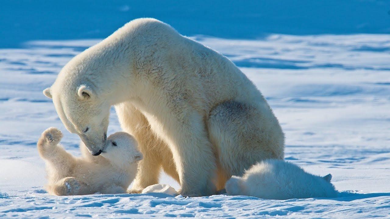 Більшість полярних ведмедів зникне до 2100 року