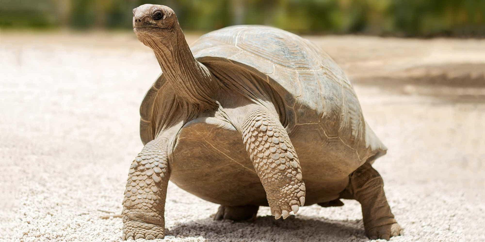 Галапагоських черепах вдалось вберегти від вимирання