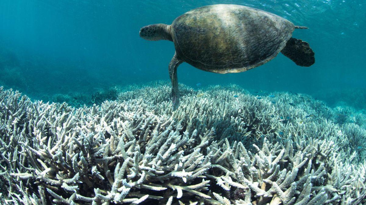 За останні 25 років половина коралів Великого Бар'єрного рифу загинули